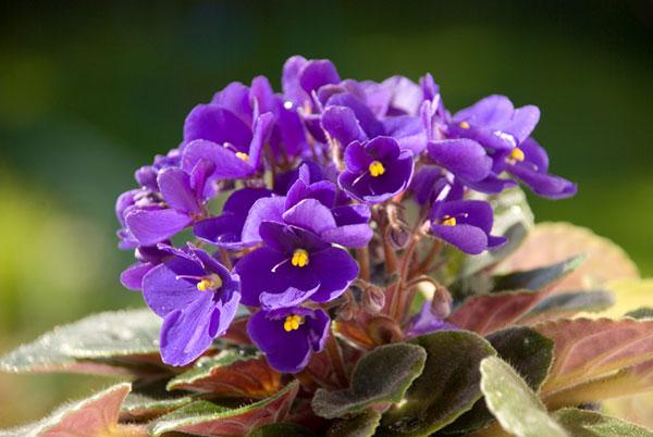 Jardins interiores - Violetas