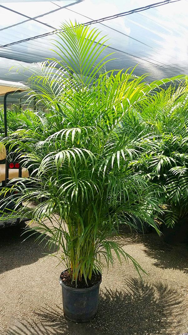 Jardins interiores - Areca