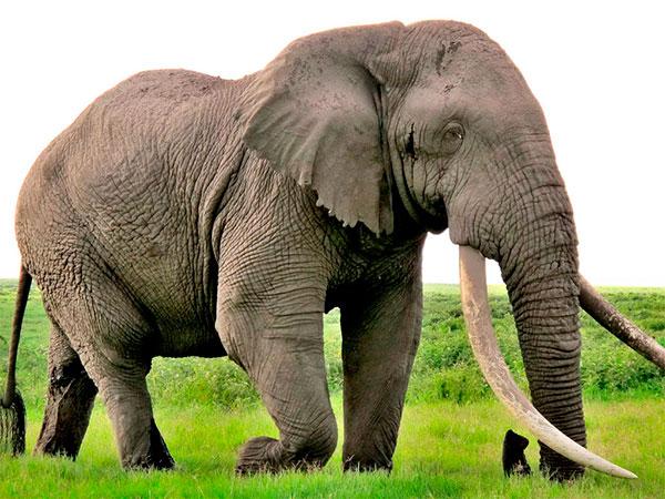 animais fofos em vias de extinção – elefante africano