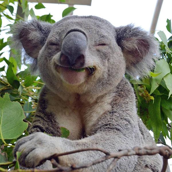 animais fofos em vias de extinção - koala