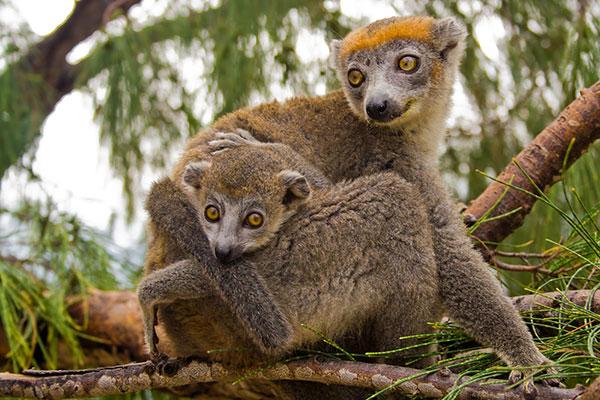 animais fofos em vias de extinção – lêmure do norte