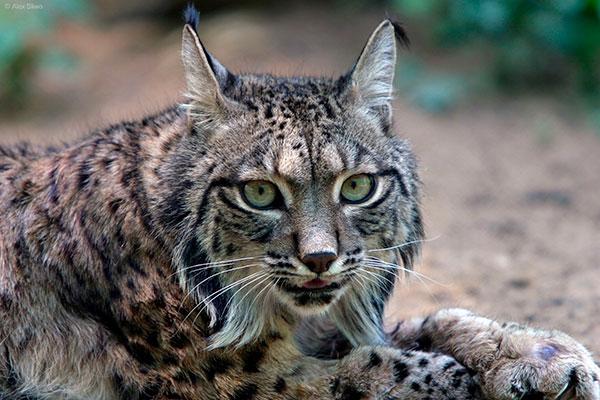 animais fofos em vias de extinção – lince ibérico