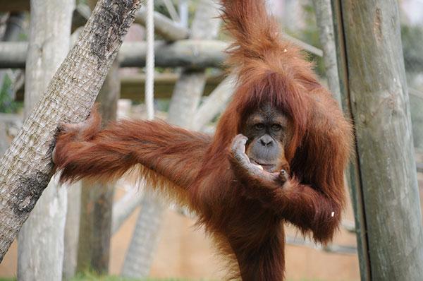 animais fofos em vias de extinção – orangotango de Sumatra