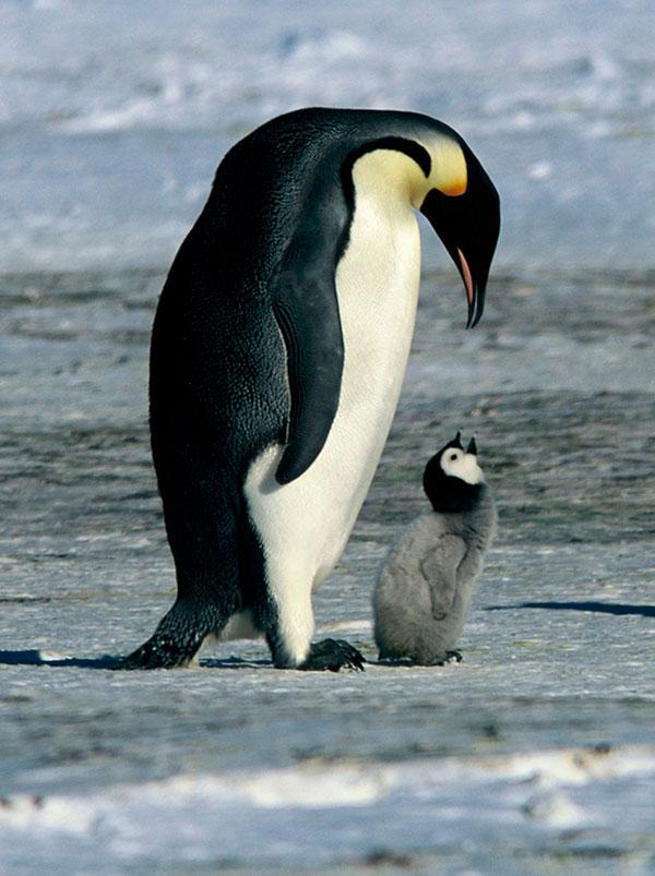 animais fofos em vias de extinção – pinguim