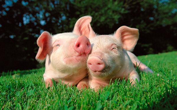 Curiosidades surpreendentes que vai adorar saber - porcos