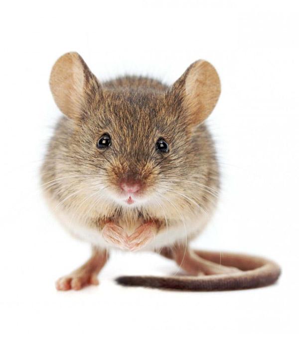 Curiosidades surpreendentes que vai adorar saber – ratos