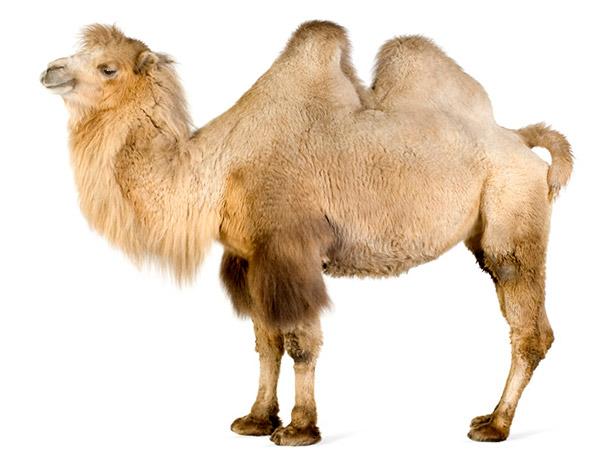 verdades tão loucas que parecem mentira – arábia importa camelos