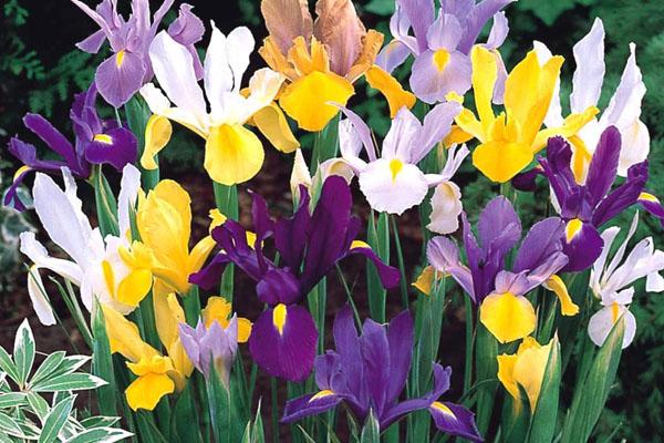 Especial jardim: A flores ideias para cada estação do ano- Íris holandesa