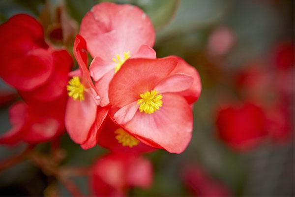 Especial jardim: A flores ideias para cada estação do ano- Begónias