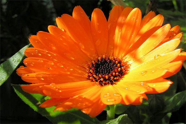 Especial jardim: A flores ideias para cada estação do ano- Calêndula