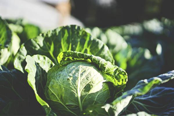 Alimentos que ajudam a retardar o envelhecimento- Couve