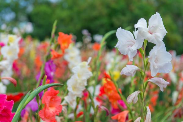 Especial jardim: A flores ideias para cada estação do ano- Glandíolos