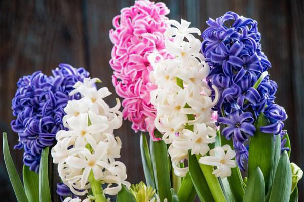 Especial jardim: A flores ideias para cada estação do ano- Jacintos