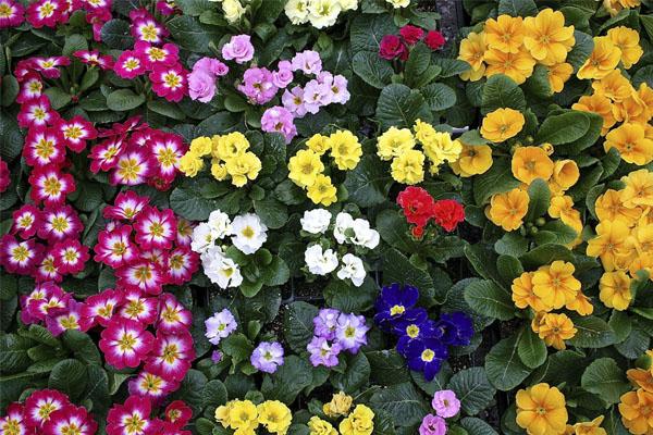 Especial jardim: A flores ideias para cada estação do ano- Prímulas