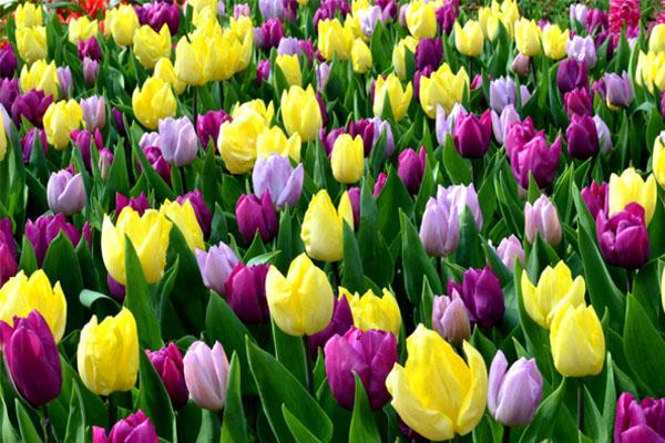 Especial jardim: A flores ideias para cada estação do ano- Tulipas