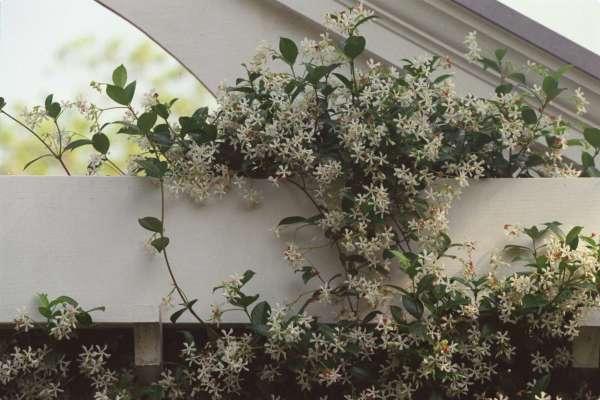 As flores ideais para cada divisão da sua casa - jasmim