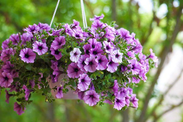 As flores ideais para cada divisão da sua casa - petúnias